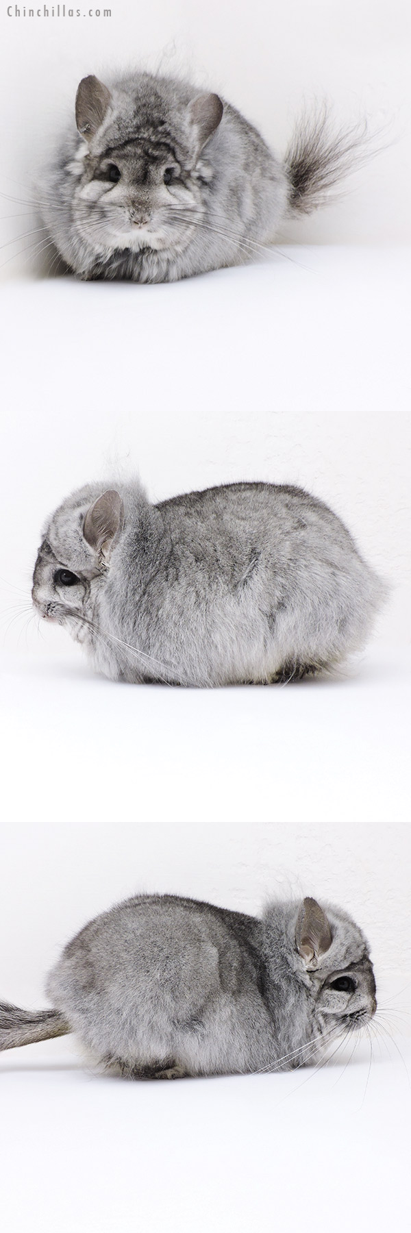 19019 Large Standard ( Violet Carrier ) G2 CCCU Royal Persian Angora Male Chinchilla