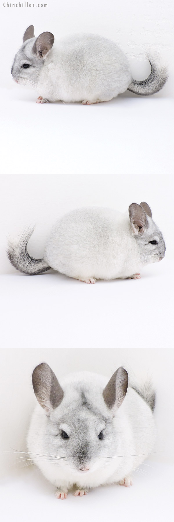 19022 Show Quality White Mosaic Female Chinchilla