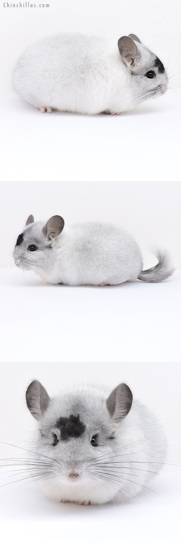 19028 Herd Improvement Quality Extreme White Mosaic Male Chinchilla