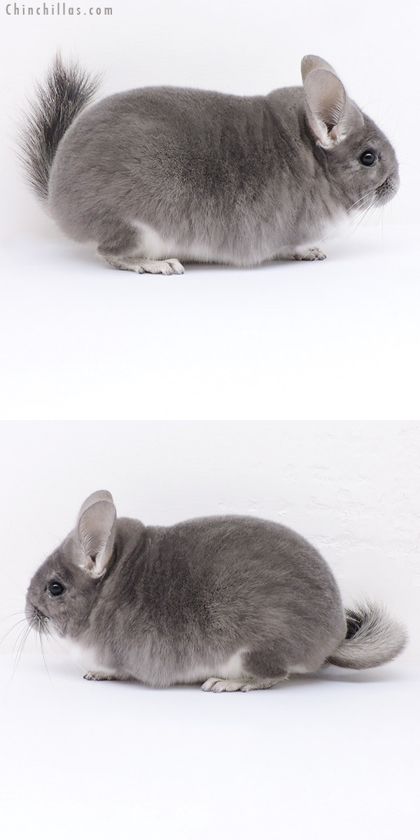 19025 Premium Production Quality Violet Female Chinchilla