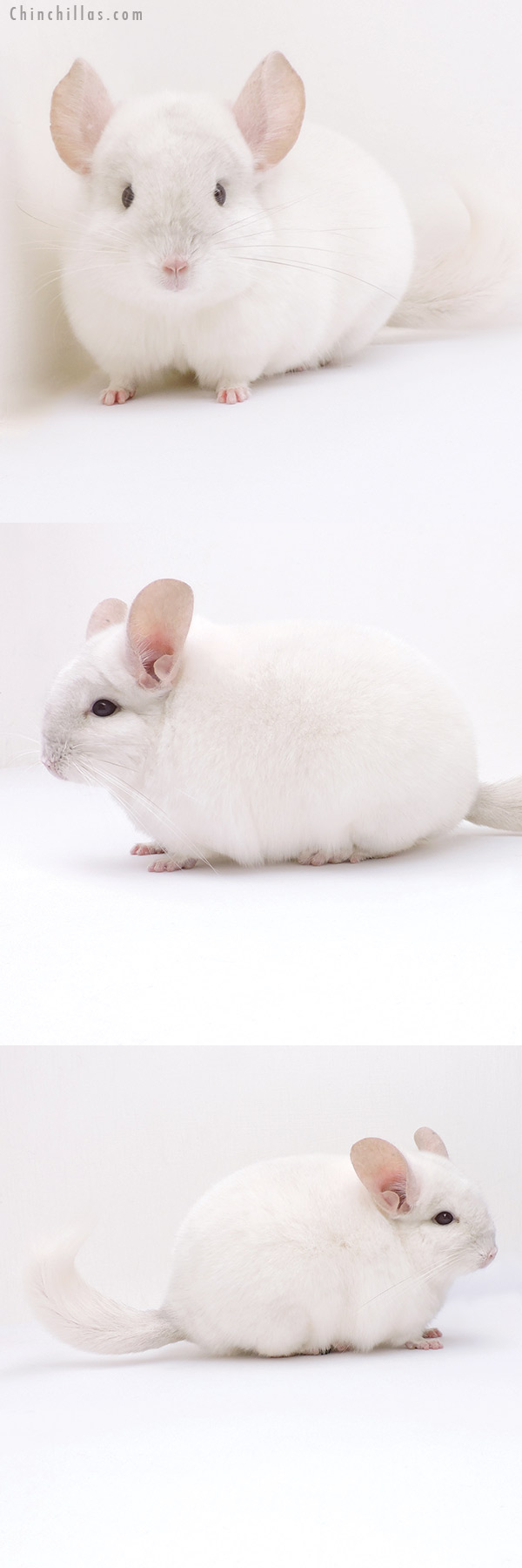 19026 Premium Production Quality Pink White Female Chinchilla