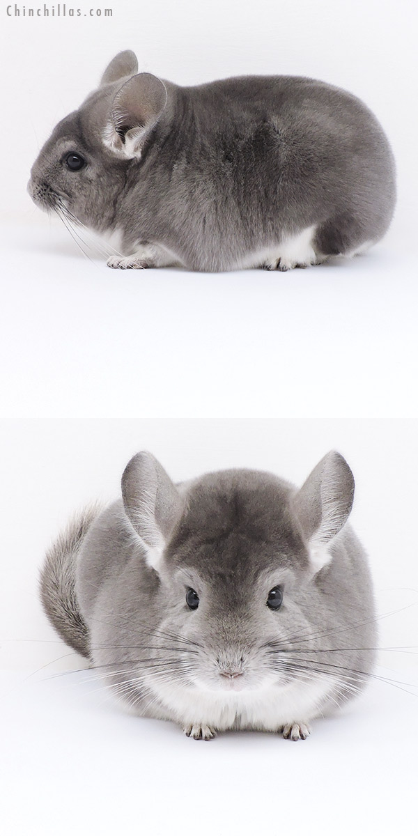 19024 Large Premium Production Quality Violet Female Chinchilla