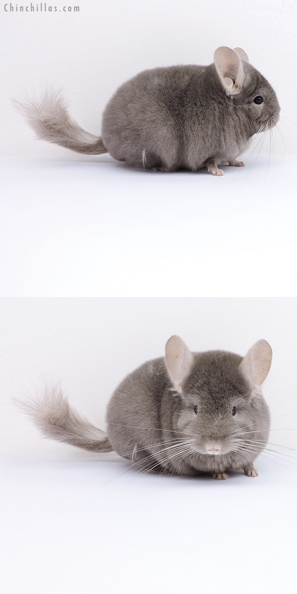 19055 Blocky Show Quality Tan Female Chinchilla