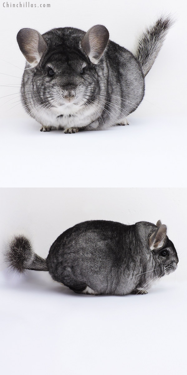 19060 Large Blocky Premium Production Quality Standard Female Chinchilla