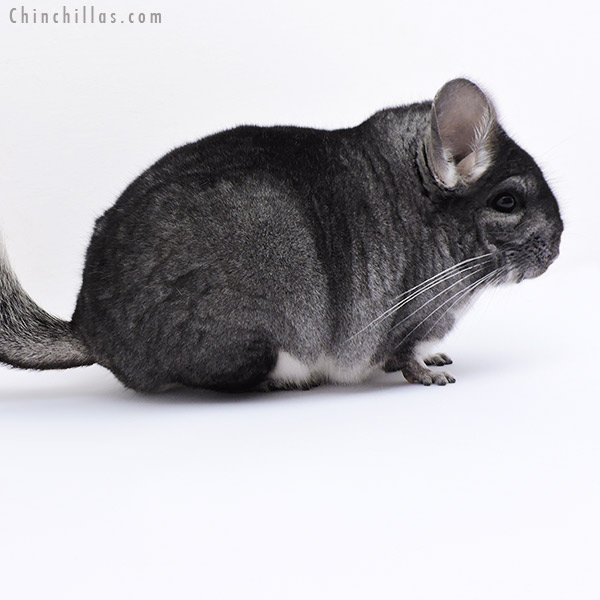 19063 Blocky Standard Female Chinchilla