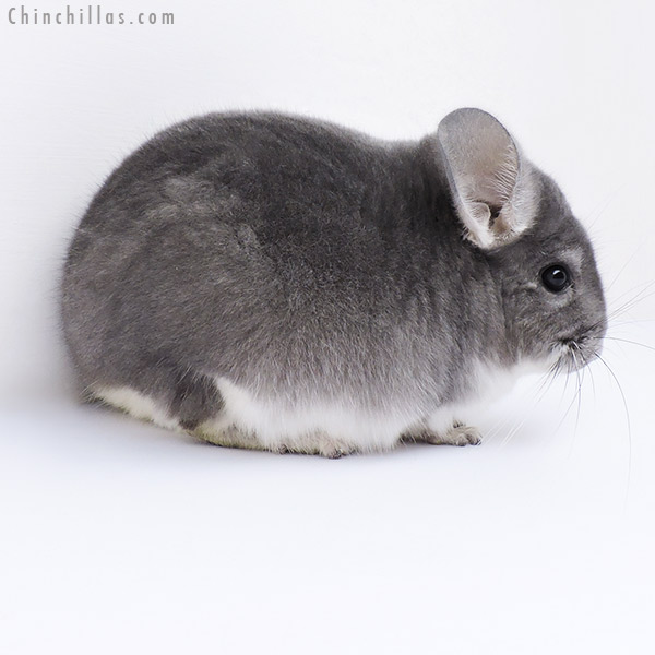 19044 Herd Improvement Quality Violet Male Chinchilla