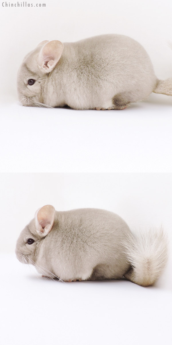 19050 Blocky Show Quality Homo Beige Male Chinchilla
