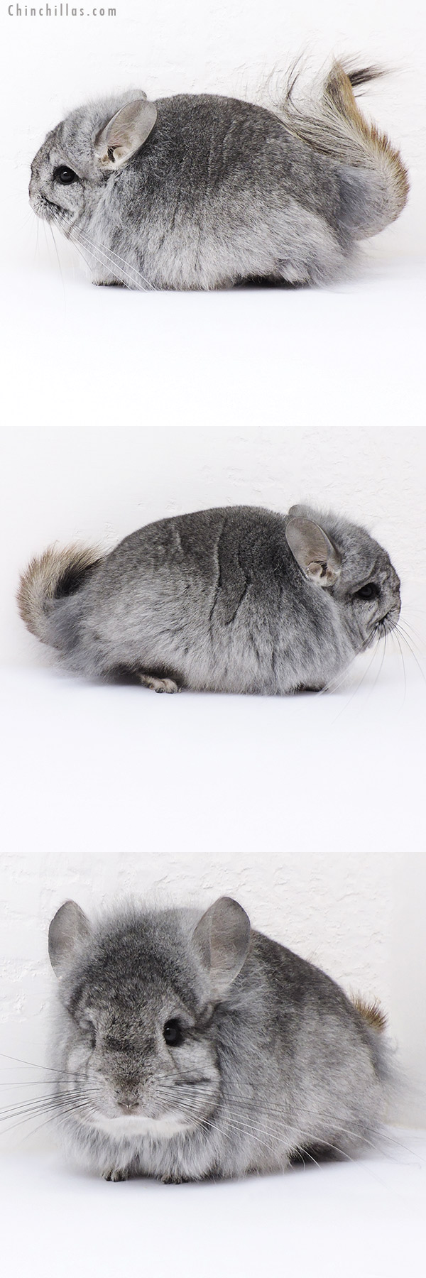 19051 Exceptional Standard G2 CCCU Royal Persian Angora Male Chinchilla