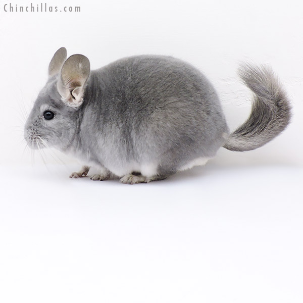 19053 Show Quality Blue Diamond Male Chinchilla
