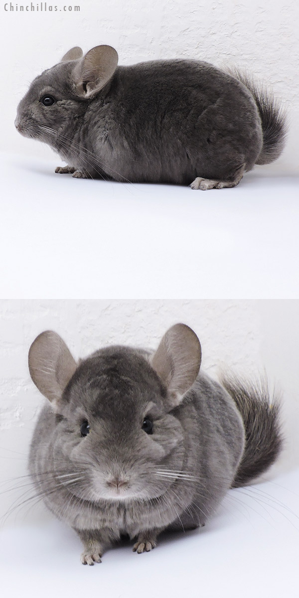 19083 Show Quality Wrap Around Violet Male Chinchilla
