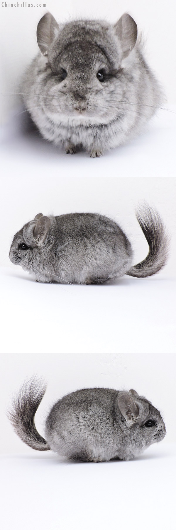 19066 Exceptional Blocky Mini Standard CCCU Royal Persian Angora Female Chinchilla