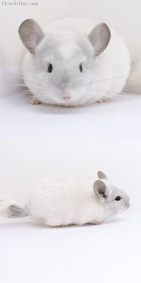 19077 Top Show Quality Violet & White Mosaic Male Chinchilla
