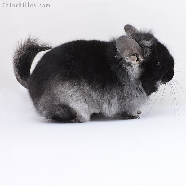 19094 Black Velvet CCCU Royal Persian Angora Female with Ear Tufts Chinchilla