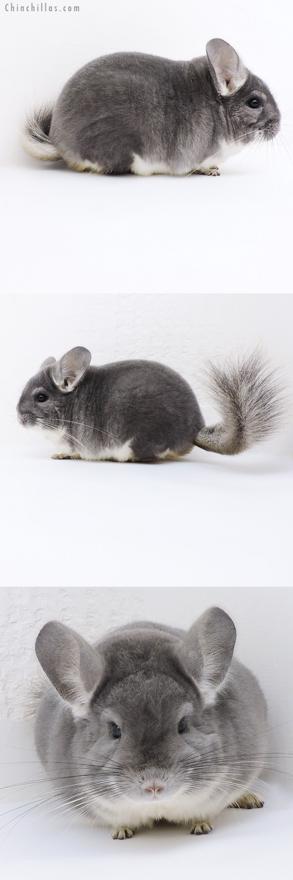 19144 Extra Large Herd Improvement Quality Violet Male Chinchilla