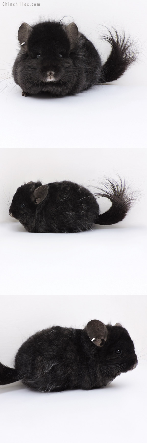 19136 Ebony CCCU Royal Imperial Angora Male Chinchilla