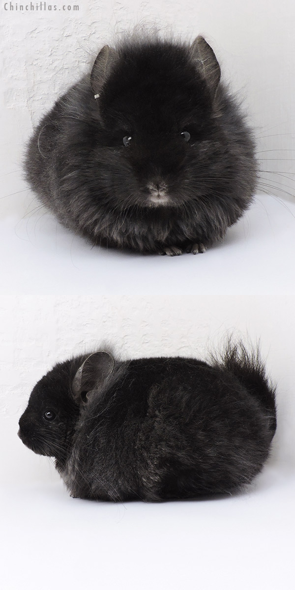 19137 Ebony ( Locken Carrier ) CCCU Royal Persian Angora Male Chinchilla