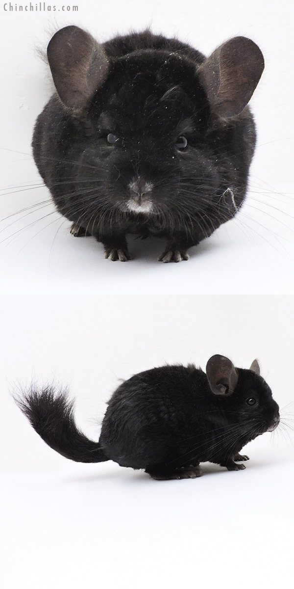 19141 Ebony Quasi Locken Male Chinchilla
