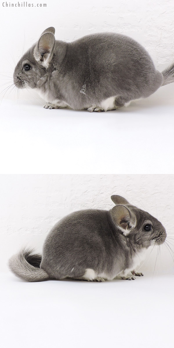 19165 Violet ( Sapphire Carrier ) Female Chinchilla