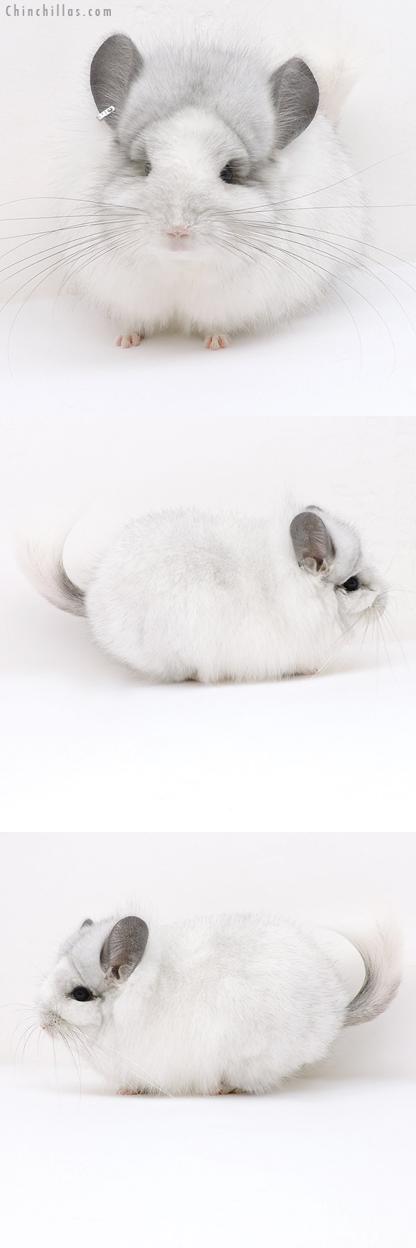 19179 Exceptional White Mosaic CCCU Royal Persian Angora Female Chinchilla