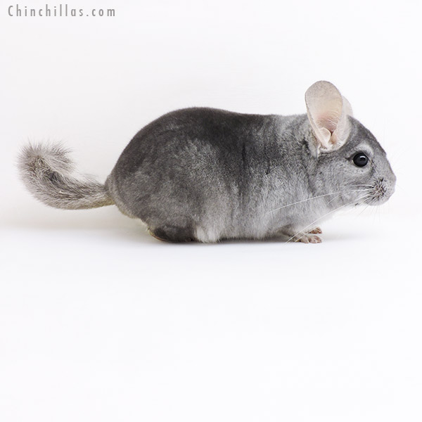 19172 Sapphire ( Violet Carrier ) Male Chinchilla