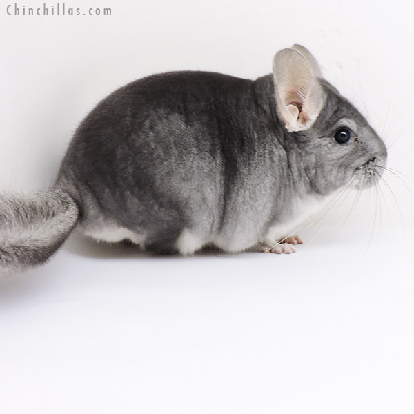19174 Sapphire ( Violet Carrier ) Male Chinchilla