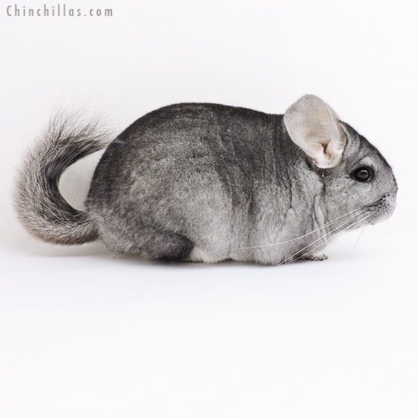 19169 Large Blocky Premium Production Quality Standard ( Violet & Sapphire Carrier ) Female Chinchilla