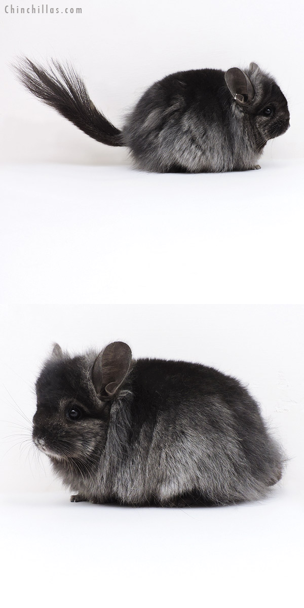 19175 Ebony ( Locken Carrier ) G2 CCCU Royal Persian Angora Female Chinchilla