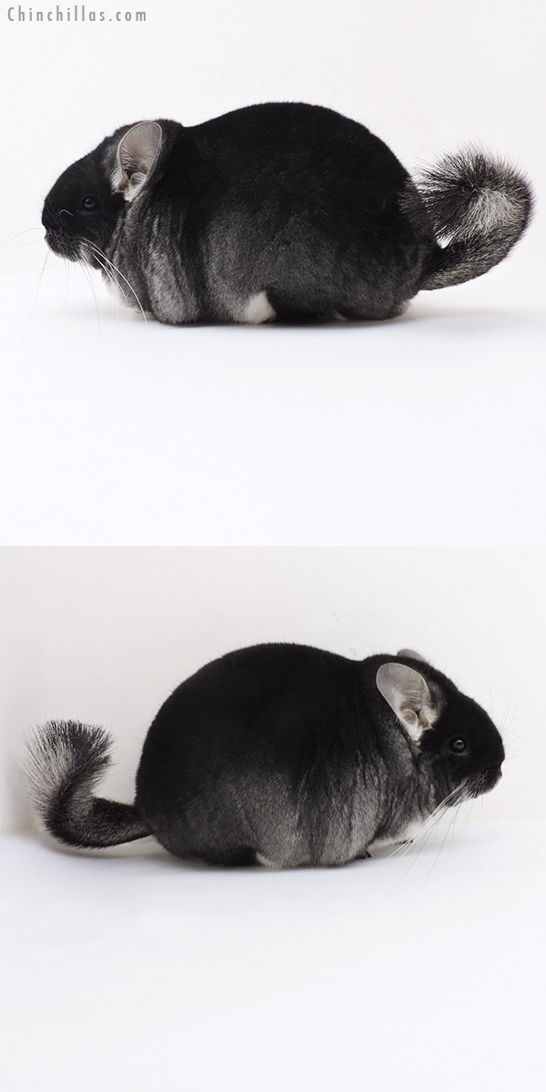 19184 Large Brevi Type Premium Production Quality Black Velvet Female Chinchilla