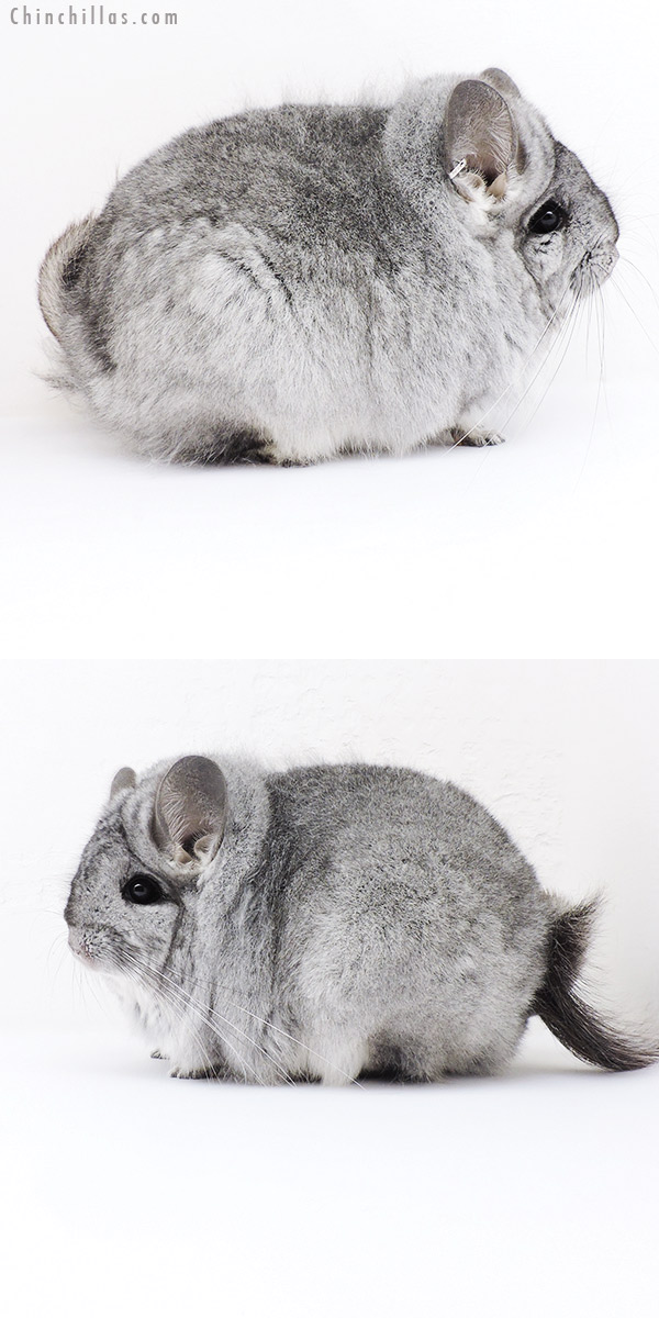 19196 Exceptional Large Blocky CCCU Royal Persian Angora Female Chinchilla