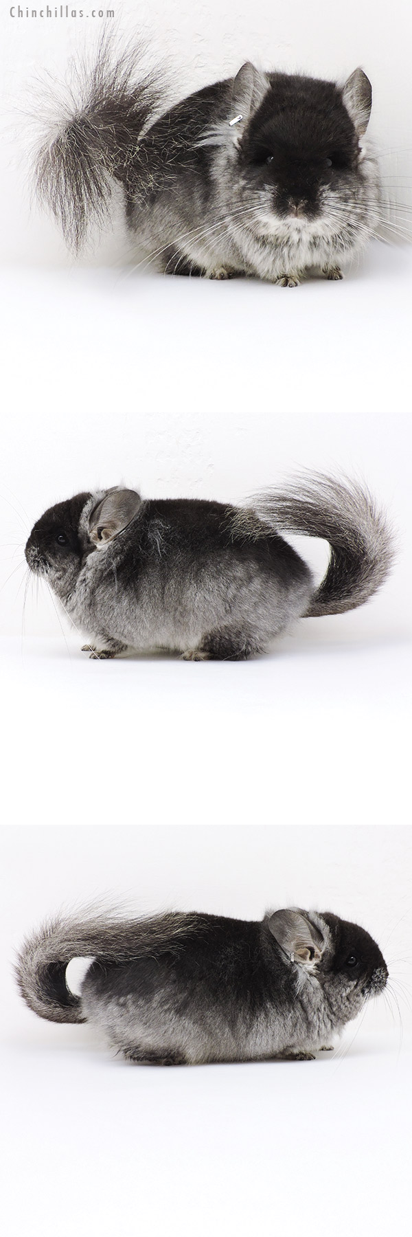 19216 Brevi Type Black Velvet CCCU Royal Persian Angora Male Chinchilla