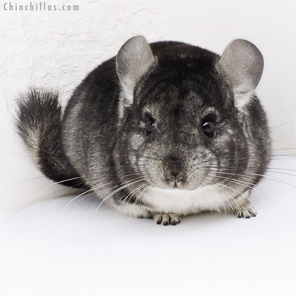 19220 Standard Male Chinchilla