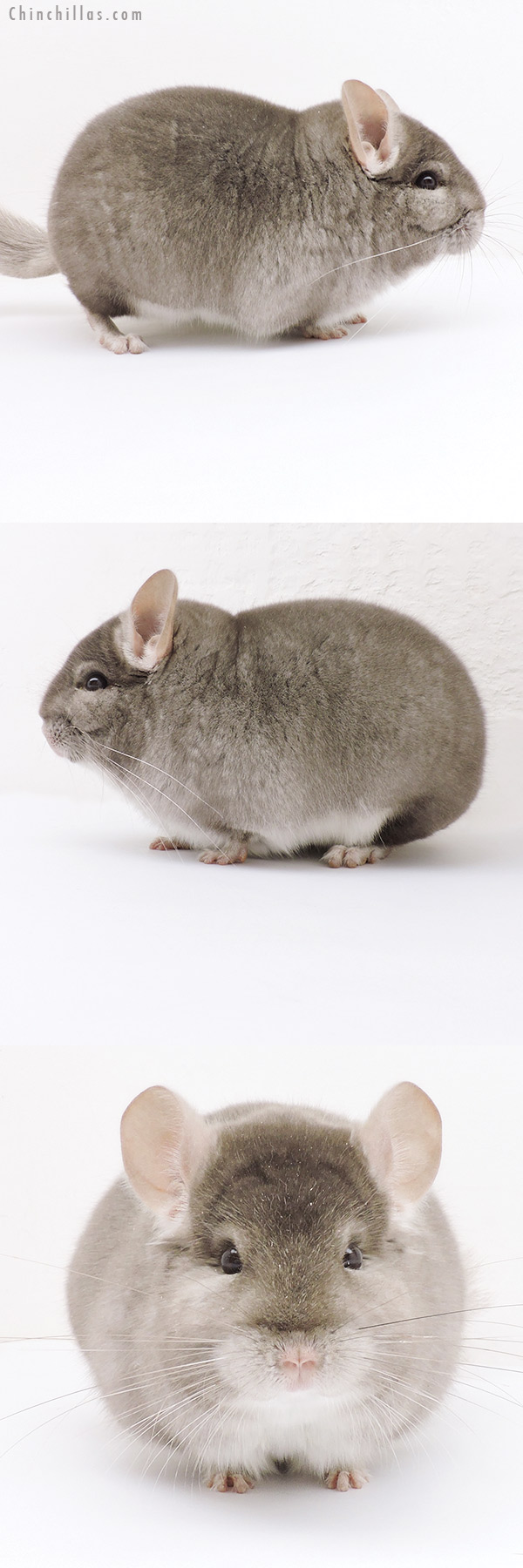 19227 Blocky Herd Improvement Quality Beige Male Chinchilla