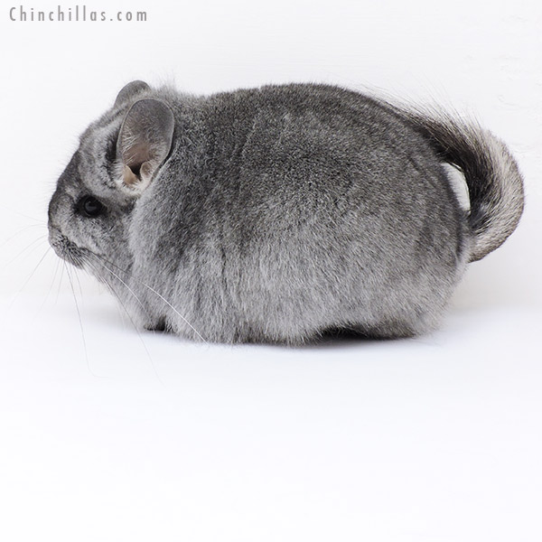 19232 Large Blocky Standard CCCU Royal Persian Angora Female Chinchilla