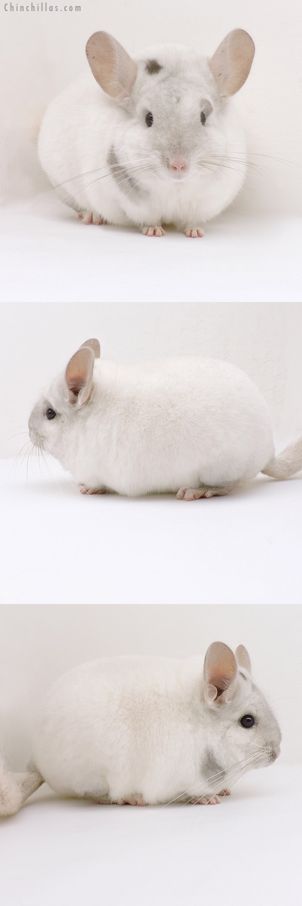 19238 Premium Production Quality Unique Beige and White Female Chinchilla