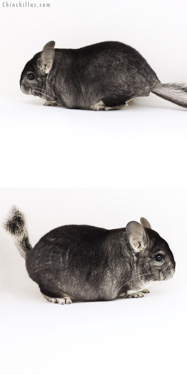 19245 Blocky Premium Production Quality Standard Female Chinchilla