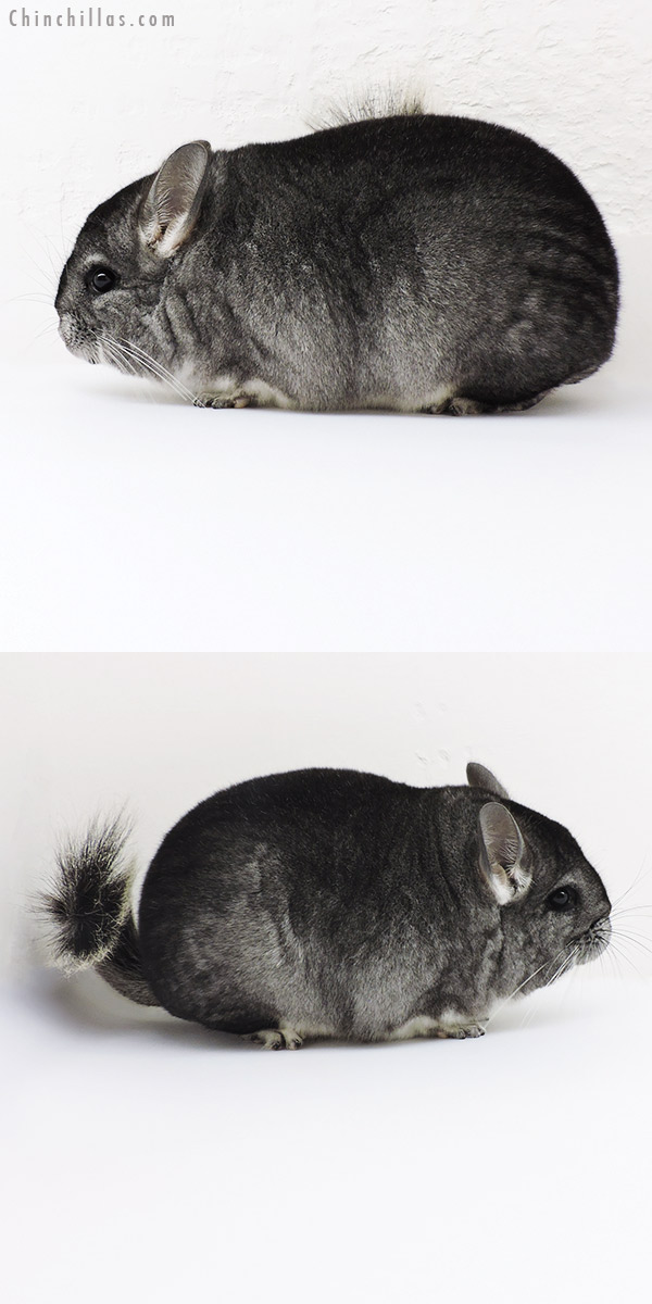 19256 Blocky Premium Production Quality Extreme Brevi Type Standard Female Chinchilla