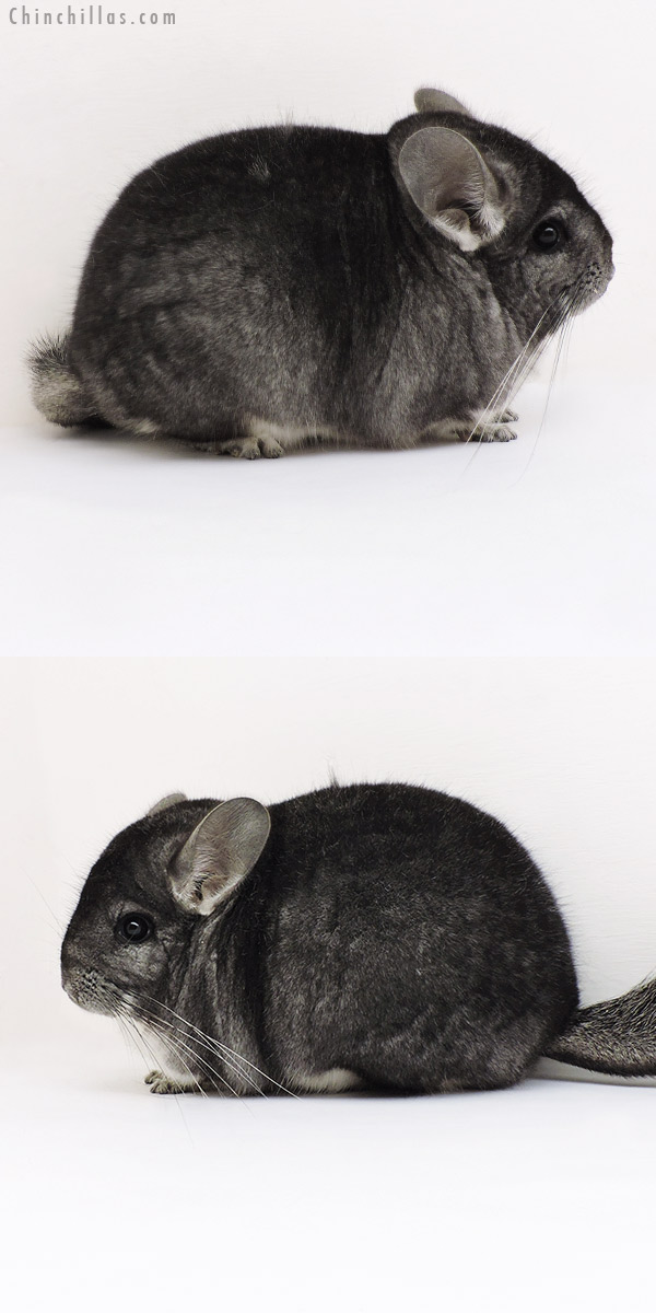 19254 Blocky Premium Production Quality Standard Female Chinchilla