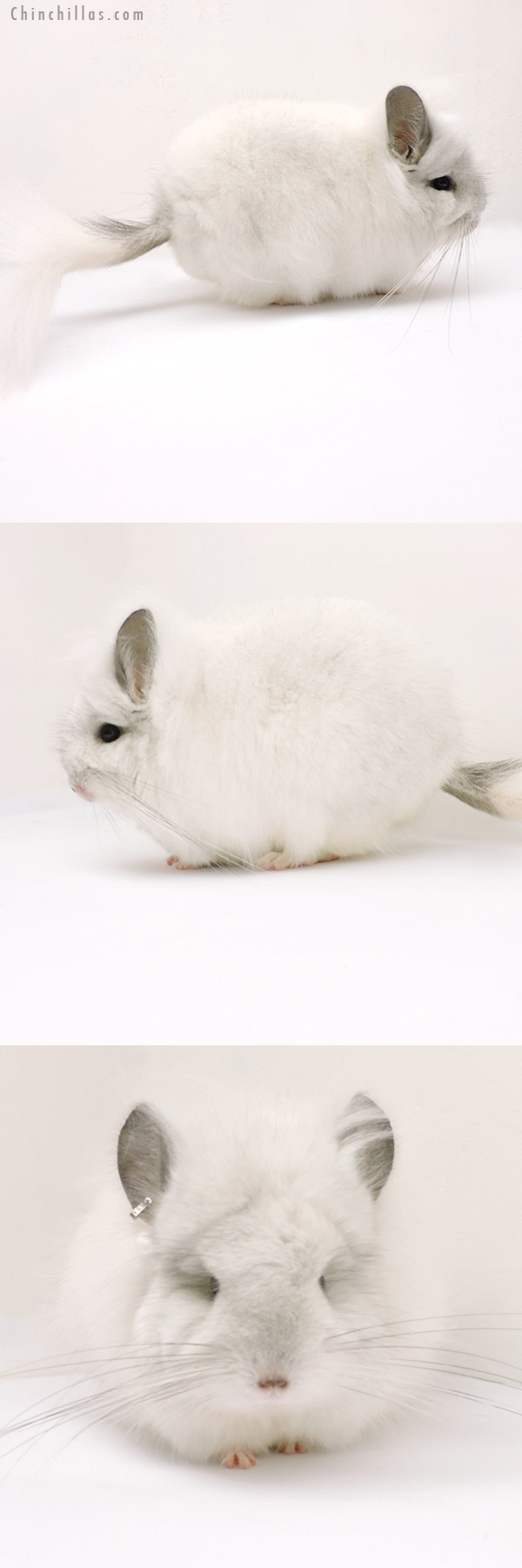 19266 Exceptional Predominantly White CCCU Royal Persian Angora Female Chinchilla