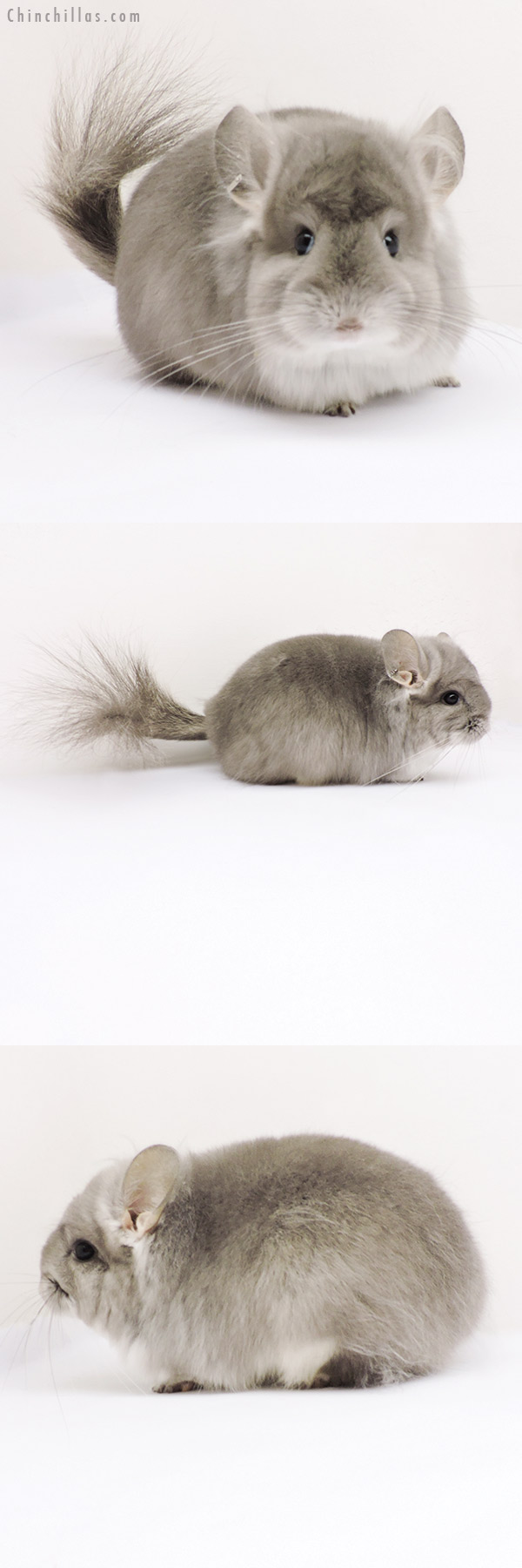 19271 Violet CCCU Royal Persian Angora Female Chinchilla