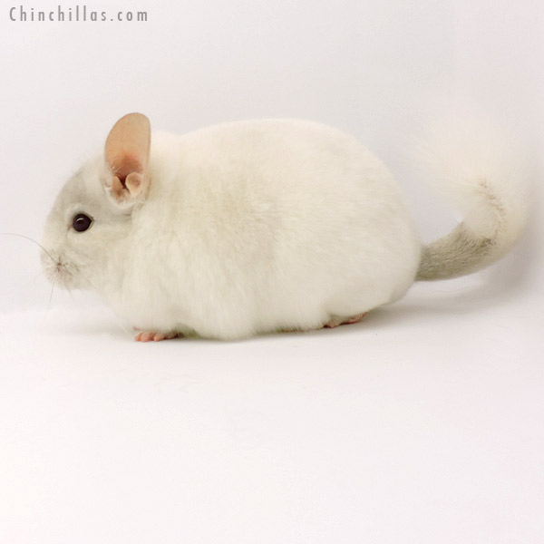 19283 Blocky Premium Production Quality Pink White Female Chinchilla