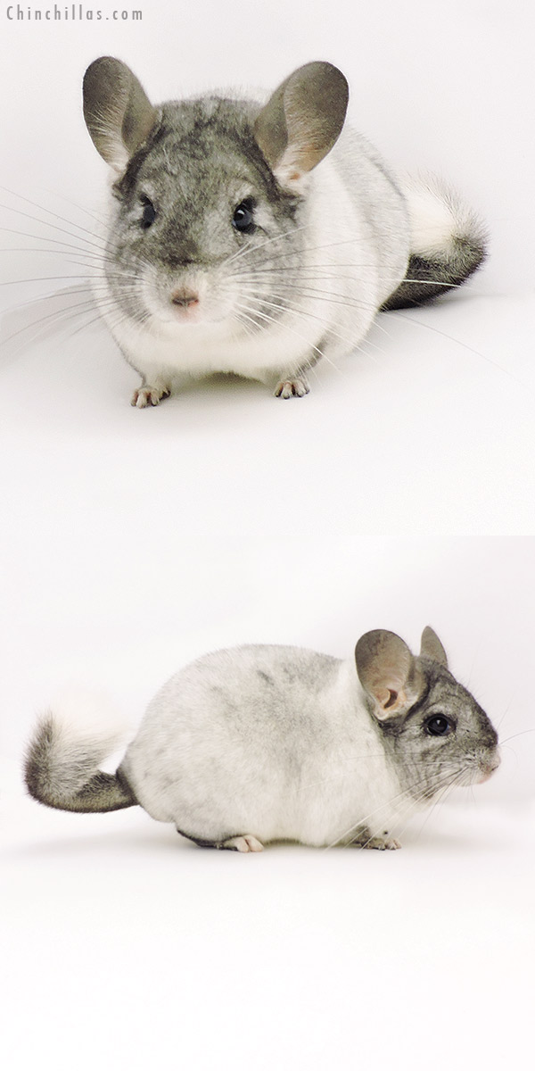 19303 Show Quality TOV White Female Chinchilla