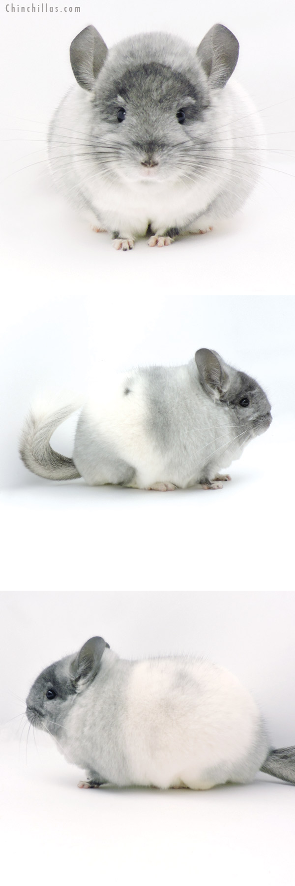 19321 Blocky Brevi Type Herd Improvement Quality TOV White Male Chinchilla