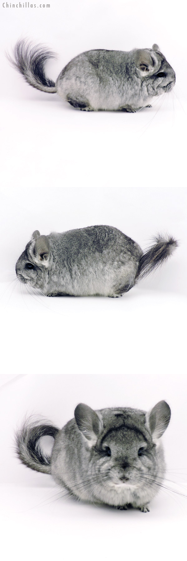 19331 Blocky Brevi Type Standard CCCU Royal Persian Angora Female Chinchilla