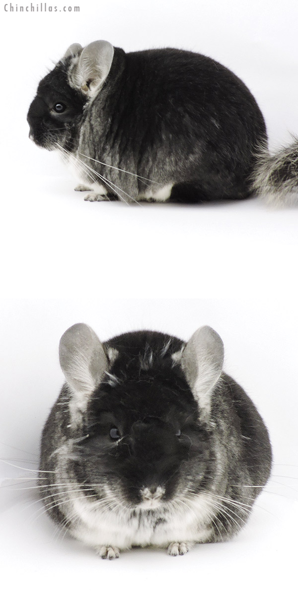19318 Blocky Premium Production Quality Black Velvet Female Chinchilla