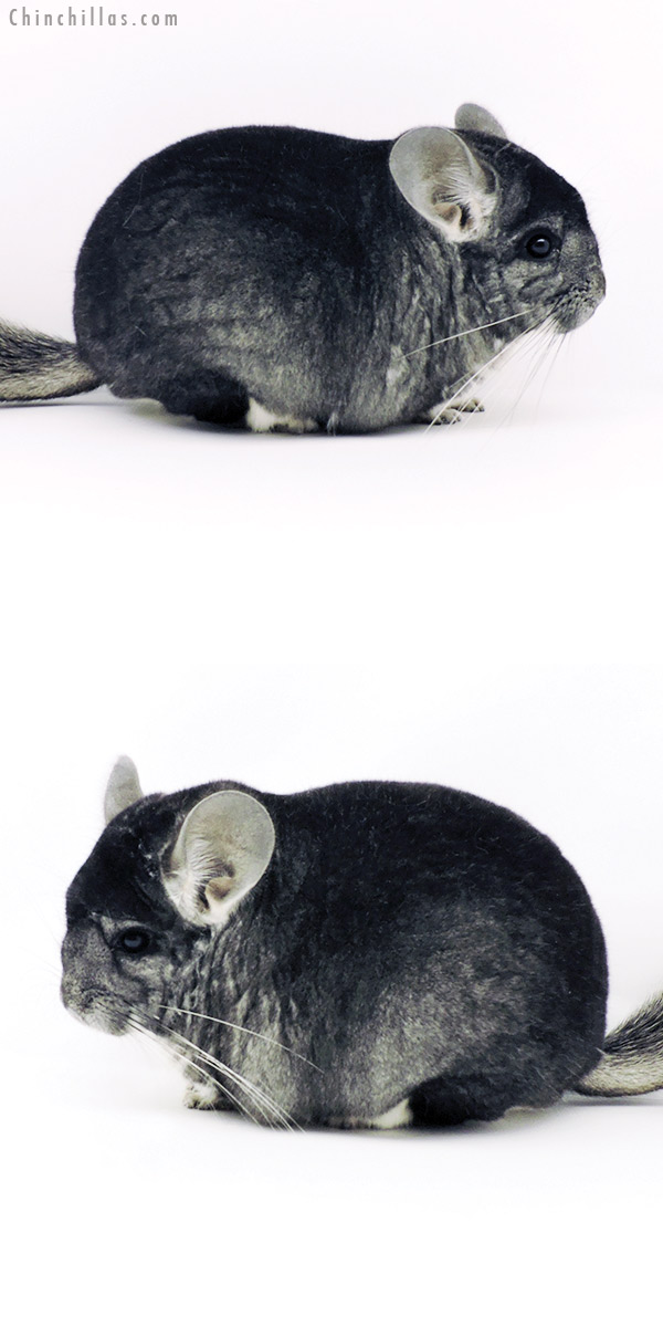 19344 Large Blocky Herd Improvement Quality Standard Male Chinchilla
