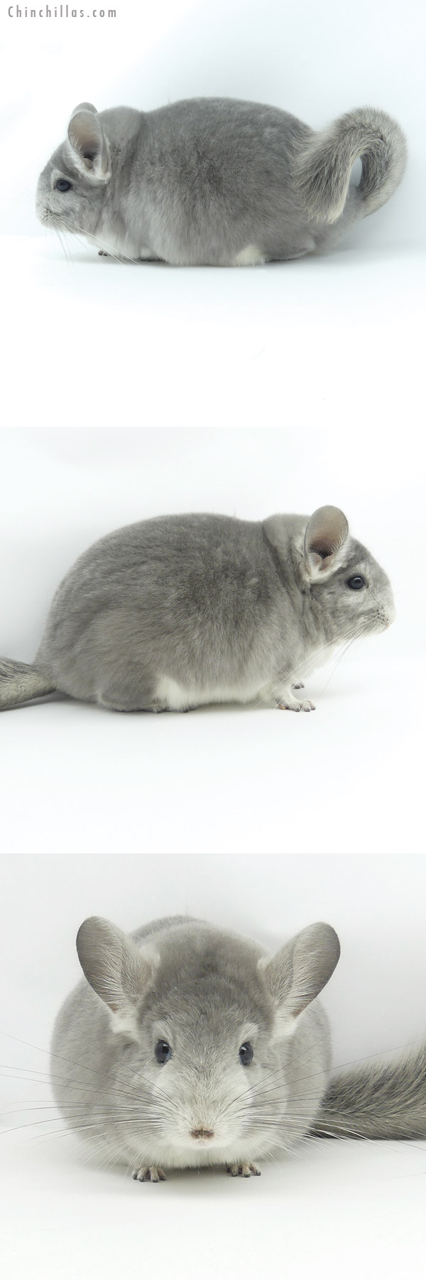 19359 Large Blocky Premium Production Quality Violet Fading White Female Chinchilla