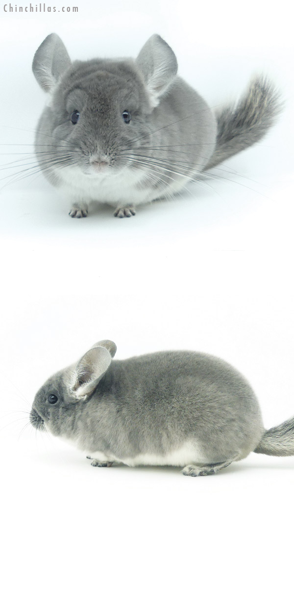 19361 Premium Production Quality TOV Violet Female Chinchilla