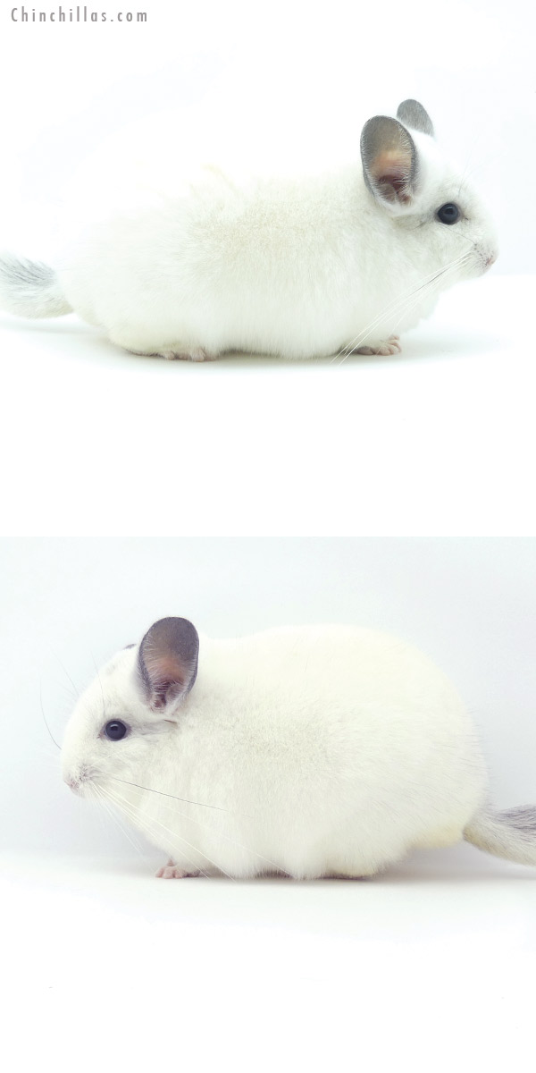 19352 Blocky Herd Improvement Quality Predominantly White Male Chinchilla