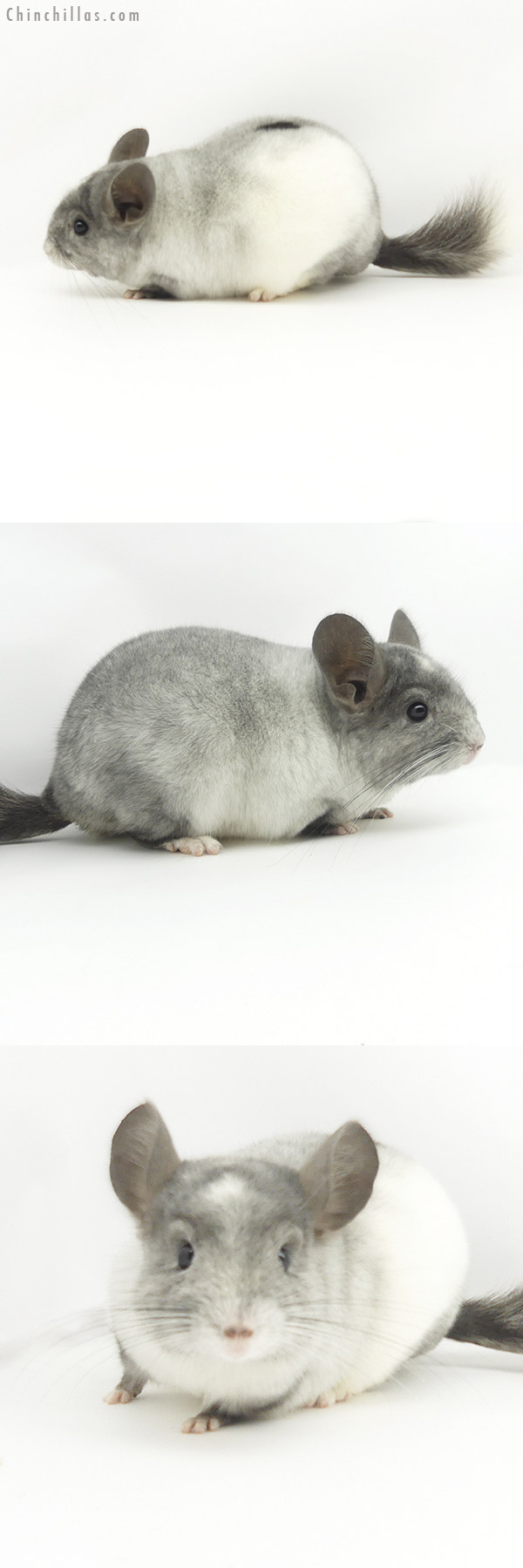 19374 Show Quality Tri-tone White Mosaic Male Chinchilla