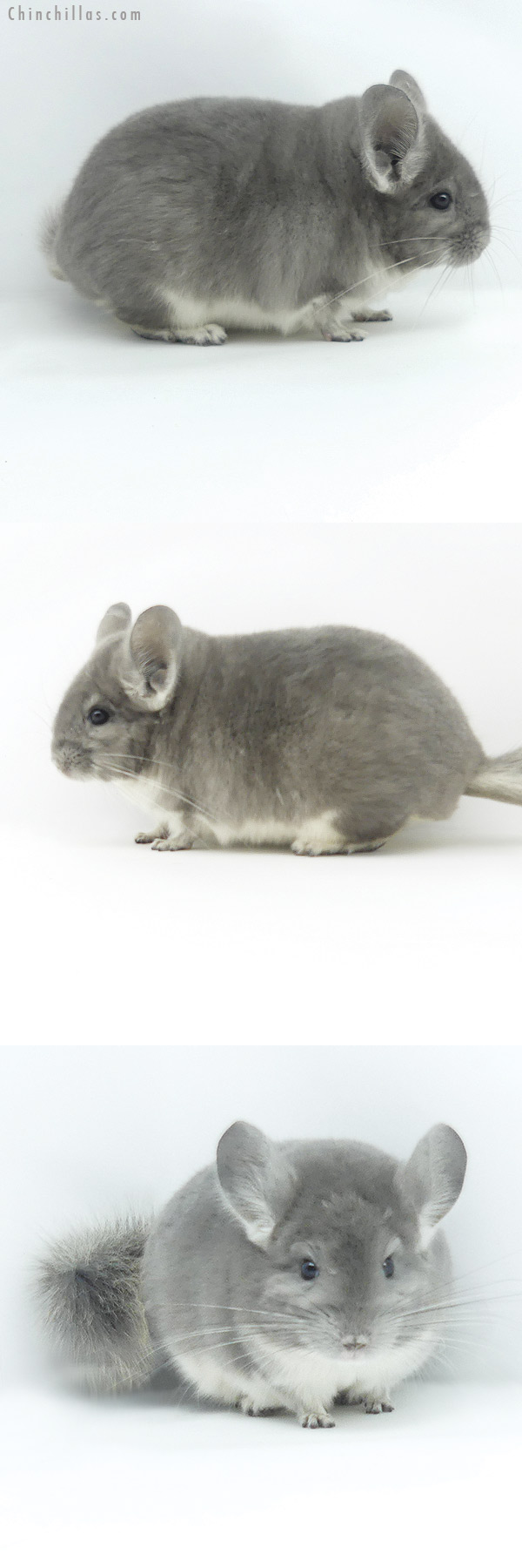 19379 Blocky Show Quality Violet Male Chinchilla